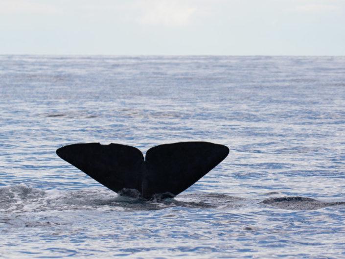 potvis - sperm whale